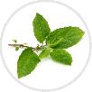 tulsi-leaves