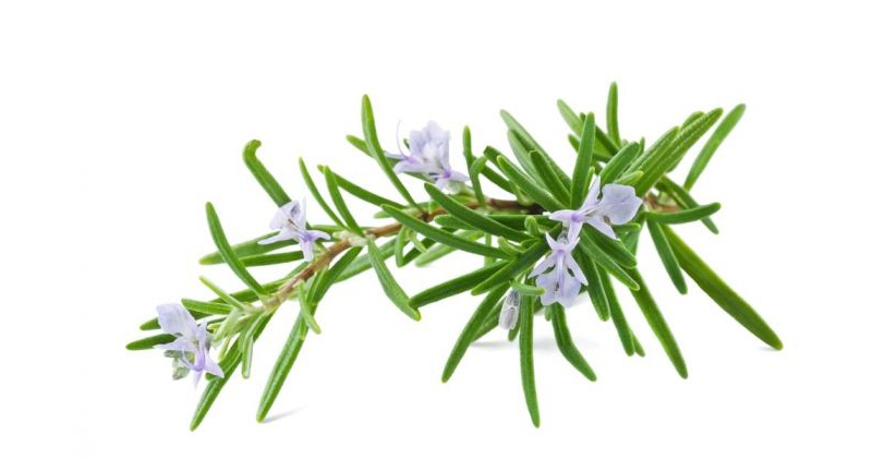 Rosemary-Help-You-Get-a-Younger-Looking-Skin